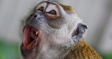 Oído interno de primates del Mioceno revela más datos de evolución humana
