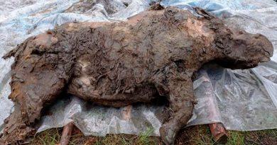 Presentan a un rinoceronte lanudo adolescente de 20 mil años hallado en la tundra rusa