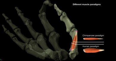 La destreza de los pulgares en el humano existía hace dos millones de años