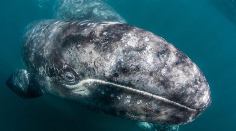 Casi 400 ballenas grises de Baja California están muriendo de hambre y los científicos aún no saben porqué