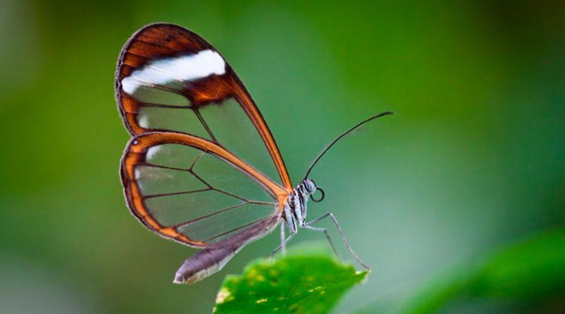 Conoce a las espectaculares mariposas de cristal con alas transparentes