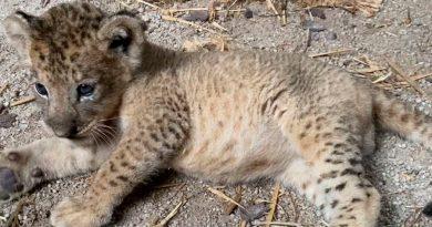 Nació Simba, el primer cachorro de león concebido por inseminación artificial en Singapur