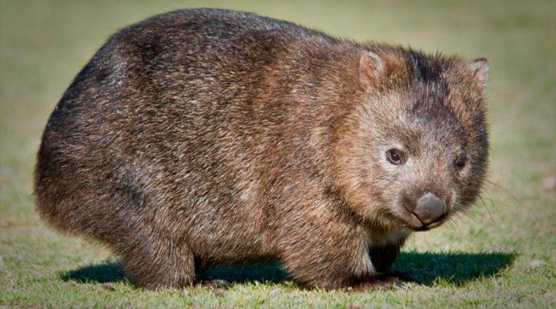 Descubren por qué el excremento de los wombats tiene forma de cubo