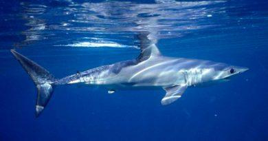 El Caribe investiga el auge de población de tiburones tras recientes ataques