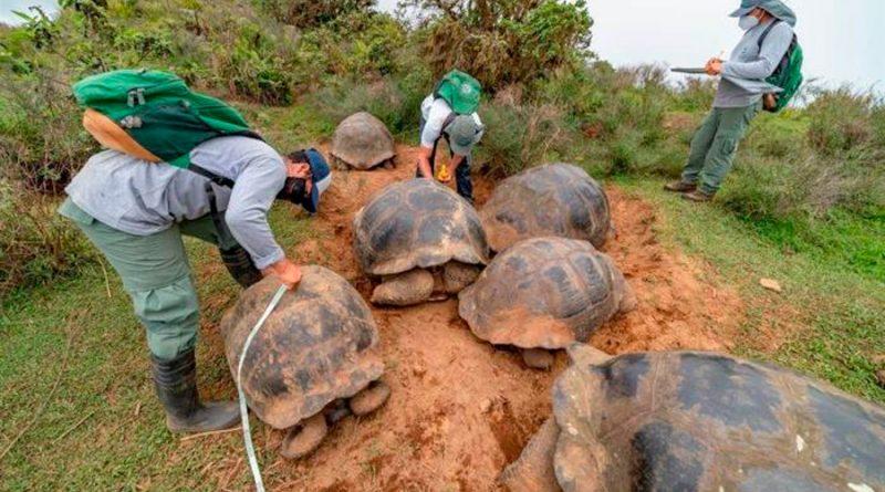 Marcan a 4 mil 723 tortugas gigantes en una isla volcánica de Galápagos