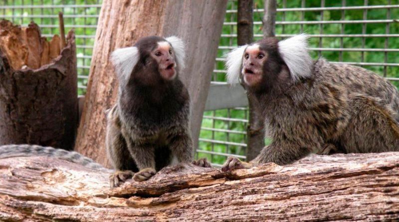Titíes escuchando a escondidas entienden lo que se dicen otros monos