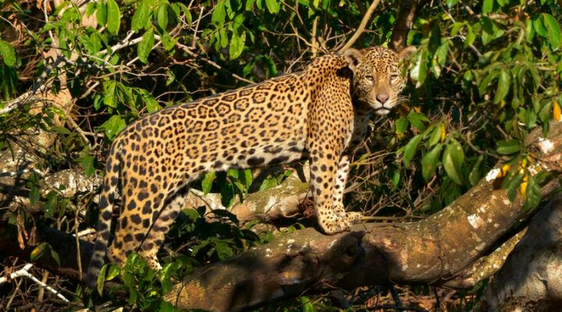 WWF busca respaldo de Latinoamérica para salvar el jaguar, su mayor felino
