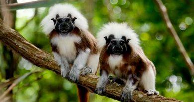 Monos titíes escuchan y entienden las conversaciones entre ellos