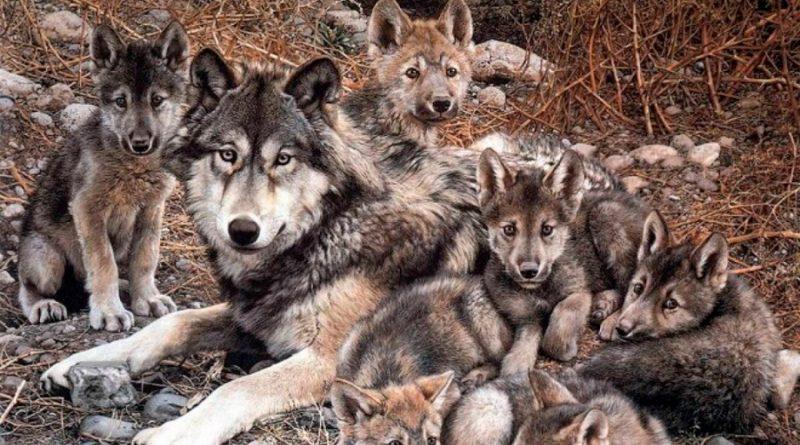 Cachorros de lobo gris mexicano aumentan la esperanza para la especie