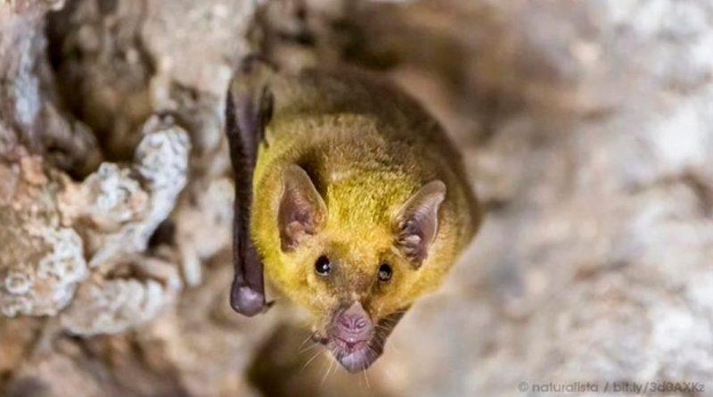 Investigadores de la UNAM localizan murciélagos de nariz larga en la CDMX