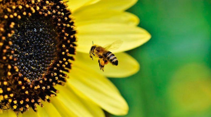 Desaparición de abejas provocarían que deje de producirse esta típica bebida mexicana, revela estudio
