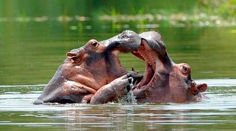 """Científicos en Colombia creen que los hipopótamos de Pablo Escobar son una """"bomba de tiempo"""""""