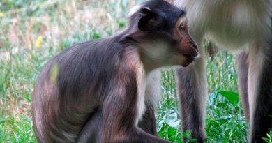 Uno de los primates más amenazados del mundo va camino de la recuperación