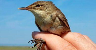 Cómo las aves migratorias recuperan el norte cuando se desvían de ruta