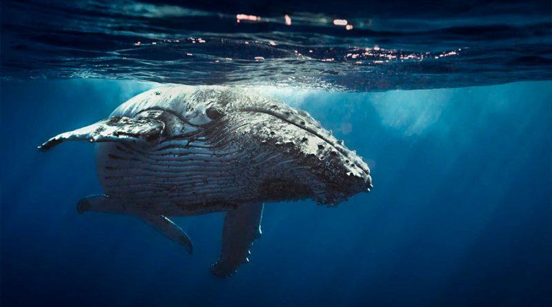 Las ballenas jorobadas crean sus propias canciones y ritmos como si fueran DJs
