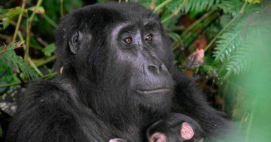 Advierten a turistas que visitan a gorilas de montaña que deberían usar tapabocas