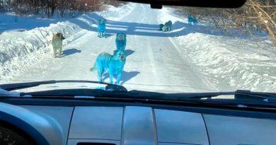 Encuentran a una manada de perros azules brillantes en Rusia