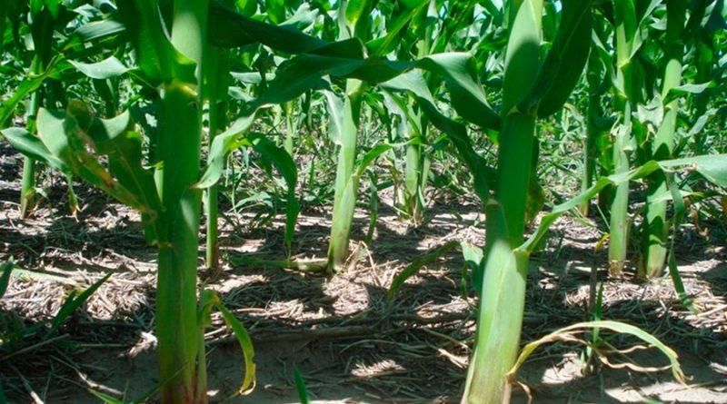 Descubren un mecanismo de control del crecimiento en altura de las plantas