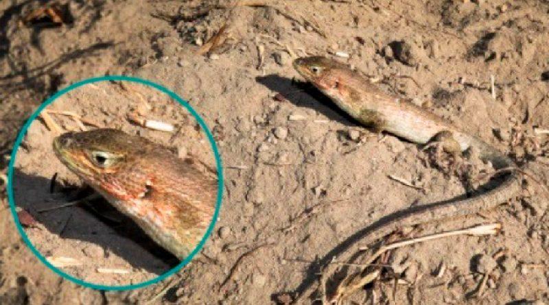 Nueva especie de lagartija fue descubierta por biólogos peruanos