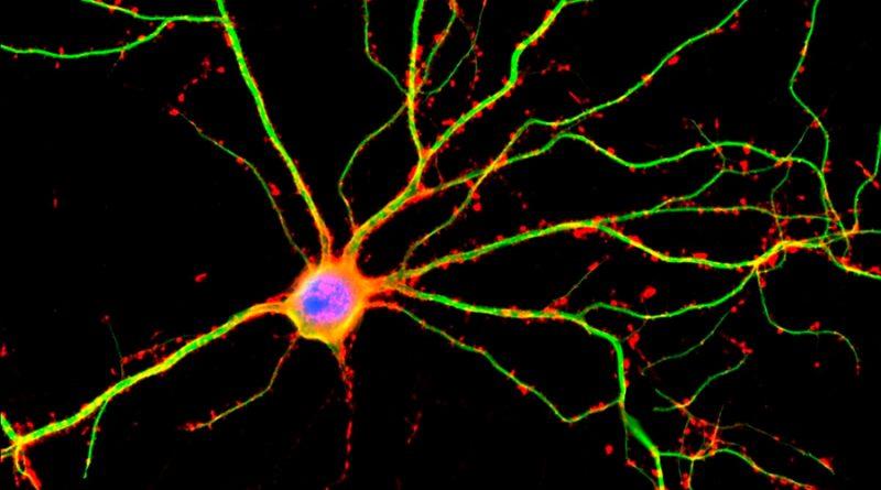 Identifican el gen de la longevidad neuronal
