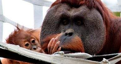 Un orangután macho se hizo cargo de su cría tras la muerte de su madre