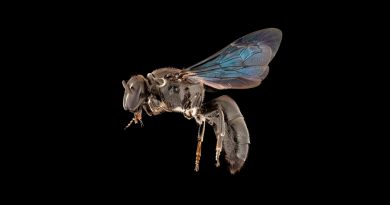 Abeja australiana que se creía extinta aparece tras un siglo sin ser vista