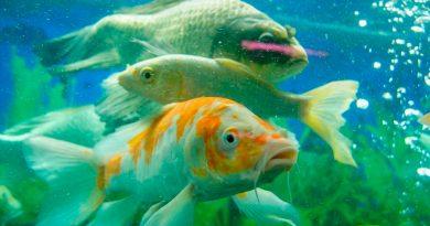 Un tercio de peces de agua dulce pueden estar en peligro de extinción