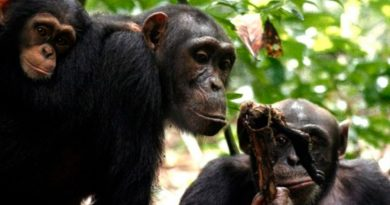 Chimpancés, como los humanos, se unen ante las amenazas de otros grupos