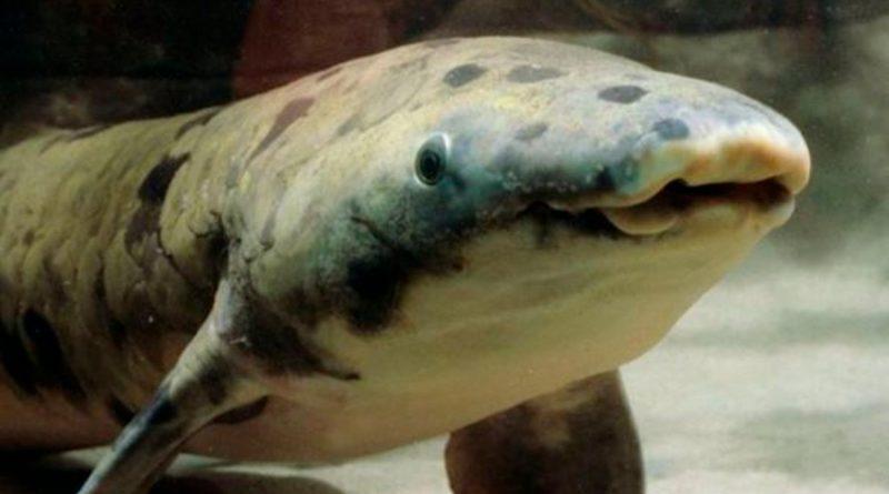 El genoma del pez pulmonado australiano aclara la conquista del medio terrestre