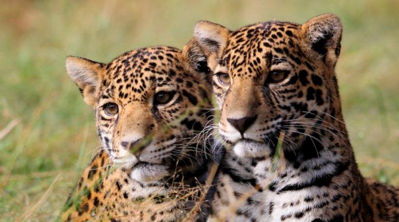 La liberación exitosa de dos jaguares hembra deja un legado para su conservación en México