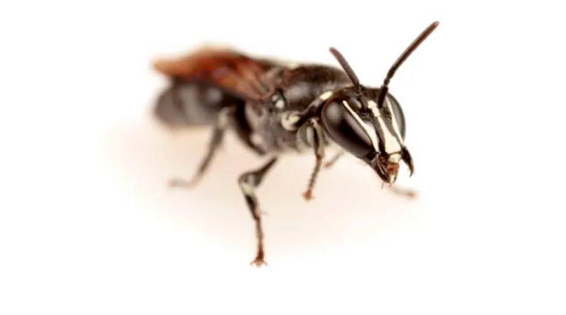 Hallan una abeja australiana que se creía extinta hace cien años, pero solo quedan seis ejemplares