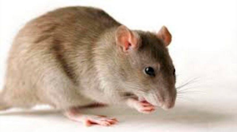 Descubren que anticuerpos biespecíficos eliminan células cancerosas en ratones