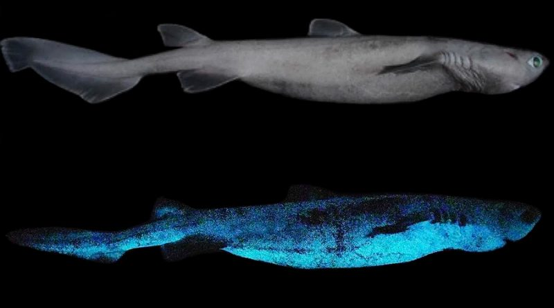 Descubren que algunos tiburones brillan en la oscuridad