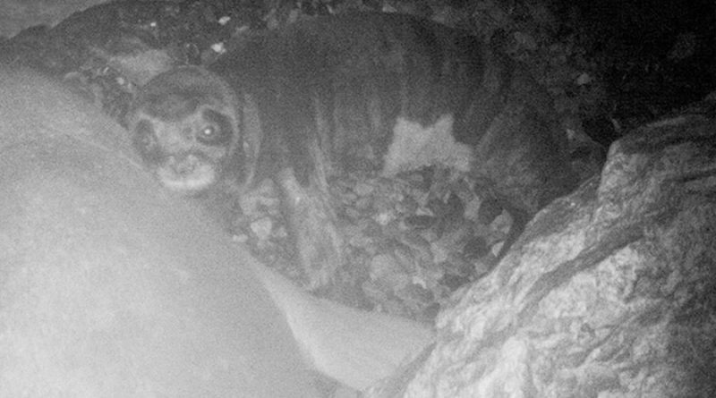 Descubren una importante zona de cría de la foca más amenazada del mundo