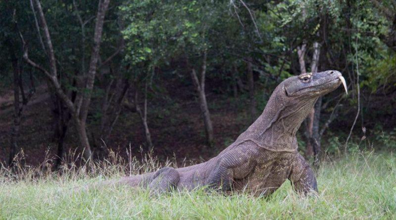 El dragón de Komodo dejó mestizos antes de extinguirse en Australia