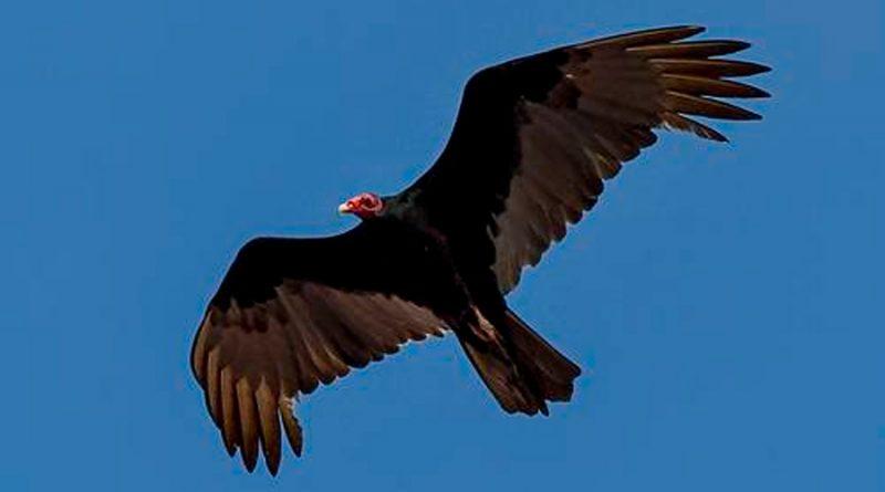 Hallan la evidencia más sólida de la existencia de gen de migración en las aves