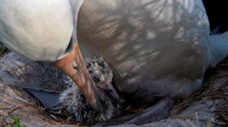 Wisdom, el ave salvaje más longeva del mundo, da a luz a una cría a los 70 años