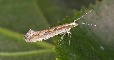 Un grupo de científicos usa por primera vez el oído de un insecto muerto como micrófono