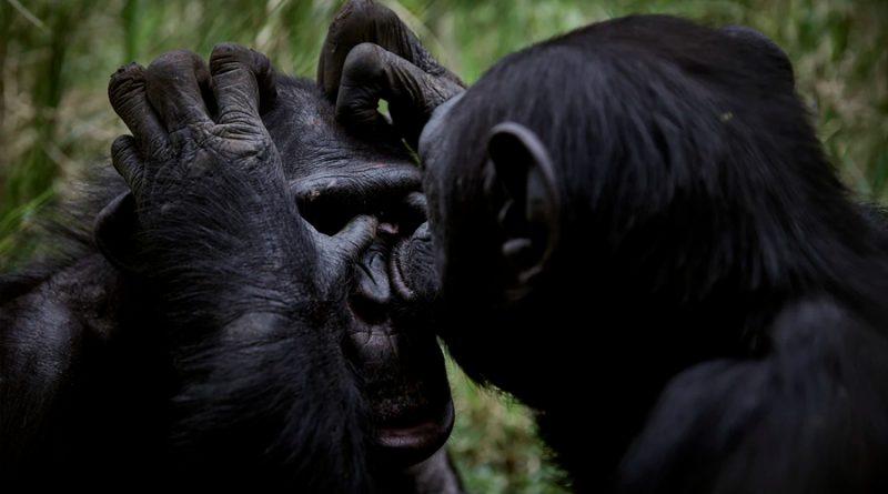 Inyectan por primera vez la vacuna contra el coronavirus a nueve simios del Zoo de California