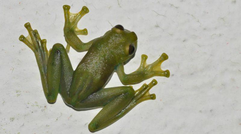 Estas ranas de cristal bailan para atraer la atención de las hembras en un hábitat ruidoso