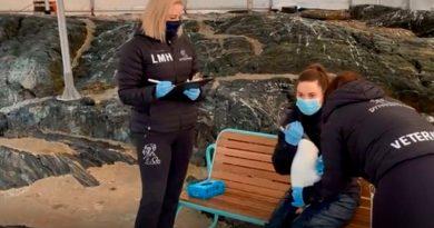 En Noruega, los pingüinos papúa también se vacunan