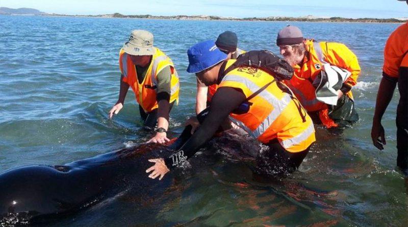 Decenas de ballenas quedan varadas por segunda vez en Nueva Zelanda