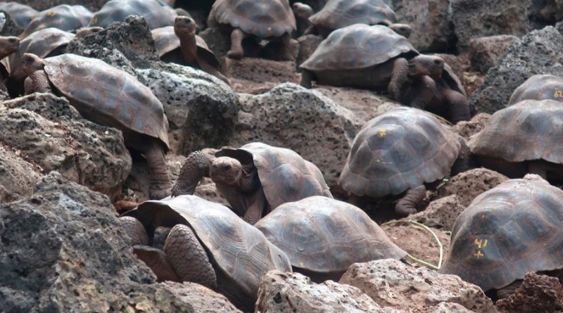 Galápagos, semillero de tortugas