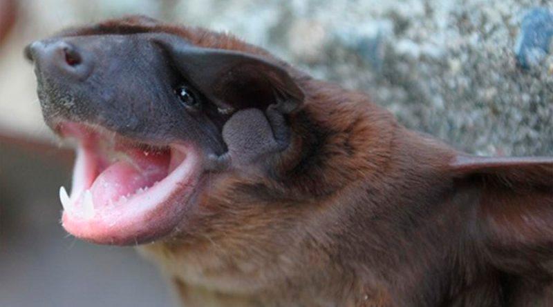 Analizan nueva especie de murciélago cara de perro