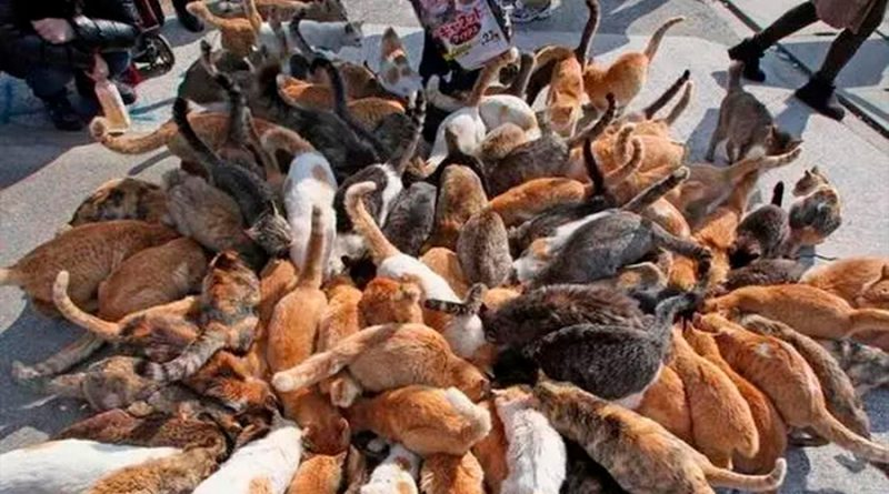 Aoshima, la Isla de los Gatos: 36 felinos por cada habitante