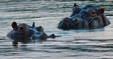 Recomiendan sacrificar a los hipopótamos que dejó Pablo Escobar