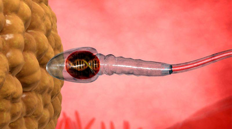 Los espermatozoides transmiten sus recuerdos al embrión vía moléculas que no son de ADN