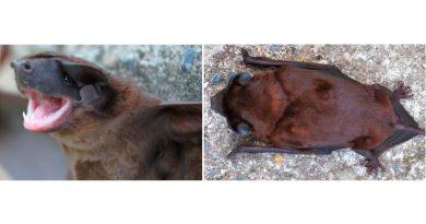 Describen nueva especie de murciélago en los Andes