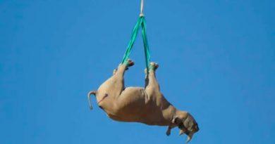 Por qué los rinocerontes se transportan mejor en helicóptero boca abajo
