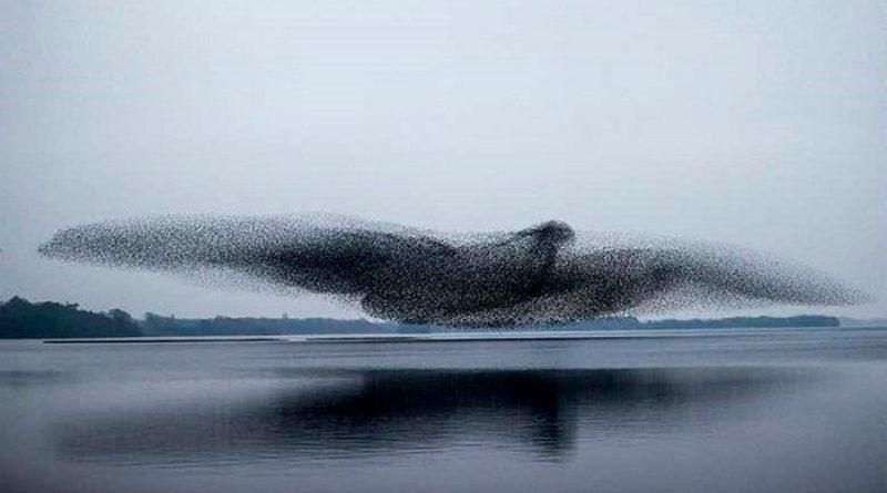 Así se coordinaron los estorninos para formar la imagen de este pájaro gigante